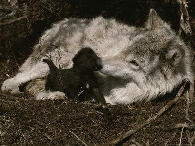 Ten-Day-Old Gray Wolf Pup, Canis Lupus, Nuzzles It's Sitter's Nose