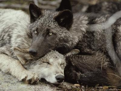 Twenty-Week-Old Gray Wolves, Canis Lupus, Rest Together