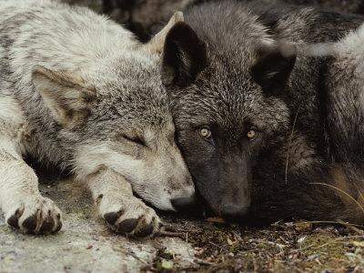 Twenty-Week-Old Gray Wolf Pups, Canis Lupus, Rest Together