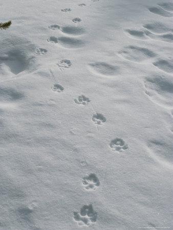 Gray Wolf, Canis Lupus, Tracks Head Across a Snowy Field