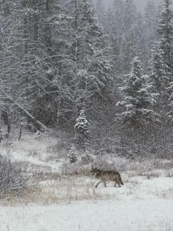 Gray Wolf, Canis Lupus, Walks in a Wintry Snow-Filled Landscape