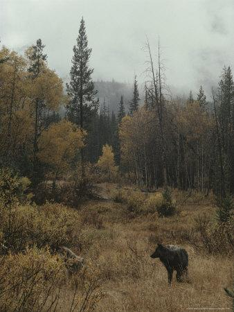 Lone Gray Wolf, Canis Lupus, Pauses in a Small Forest Clearing