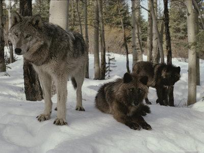 Trio of Gray Wolves, Canis Lupus, Rest in a Snowy Landscape