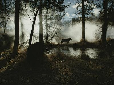 Gray Wolf, Canis Lupus, in Silhouette Passes By a Woodland Pond