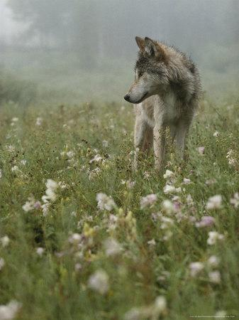 Gray Wolf, Canis Lupus, Standing in a Wildflower Meadow