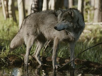 Gray Wolf, Canis Lupus, Stops at a Woodland Stream