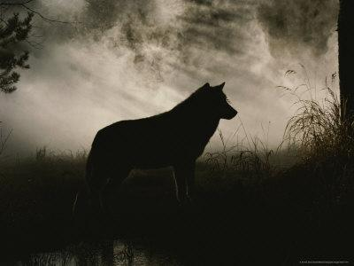 Gray Wolf, Canis Lupus, in Silhouette Against a Fog Bank