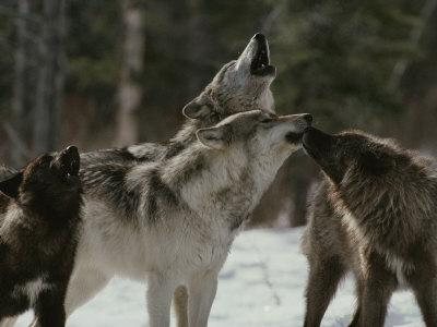 Pack of Gray Wolves, Canis Lupus, Howl