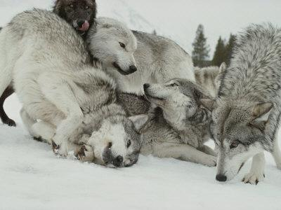 Pack of Gray Wolves, Canis Lupus, Frolic in a Snowy Landscape