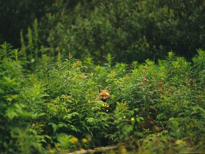 Red Fox, Vulpes Vulpes, Peers Out From a Batch of Wildflowers