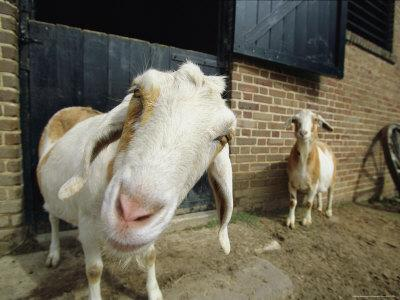 With Head Cocked, a Goat Peers Curiously at the Camera