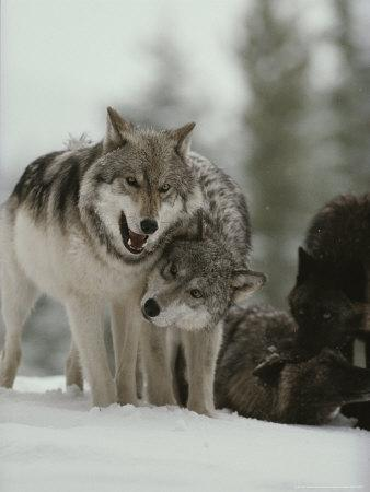 Winter Portrait of a Couple of Gray Wolves, Canis Lupus