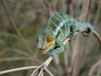 Blue Chameleon Clings to a Branch in Madagascar