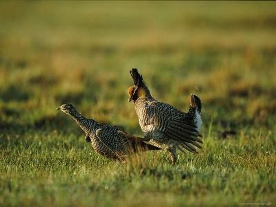 Male Attwater Prairie-Chicken Chases a Female For Mating