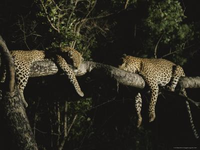 Pair of Leopards Rest on a Tree Limb