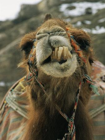 Camel Displays Its Teeth