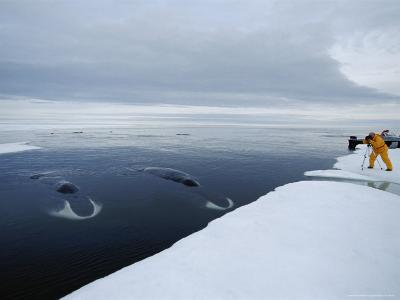 Tourist Photographs Two Bowhead Whales Sleeping by the Ice's Edge