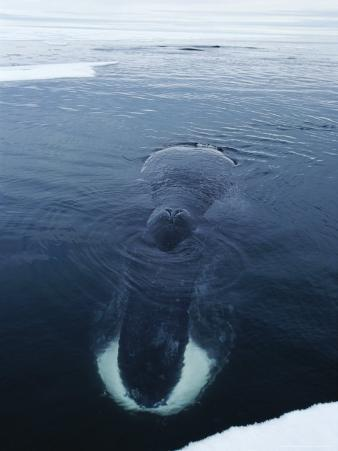 Partially Submerged Bowhead Whale Rests at the Ice's Edge