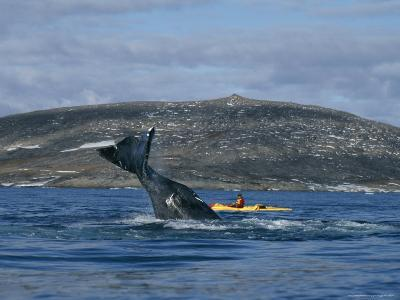 Ecologist in a Kayak Studies the Behavior of a Bowhead Whale