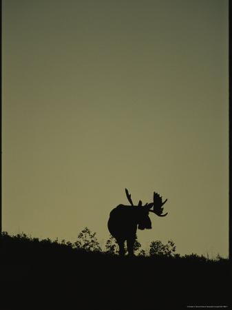 Silhouetted Alaskan Moose at Twilight