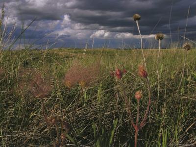 Field with Blooming Prairie Smoke Flowers