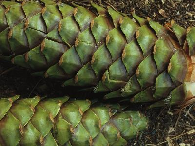 Close View of Green Pine Cones on a Forest Floor