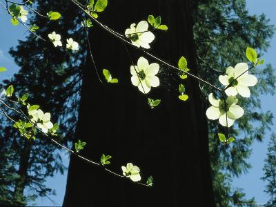 Branches of Dogwood Blossoms Lit by the Sun