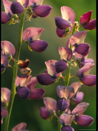Close View of Lupines in Bloom Along the Tioga Road