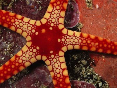 Close View of a Red-Tipped Starfish, Fromia Monilis