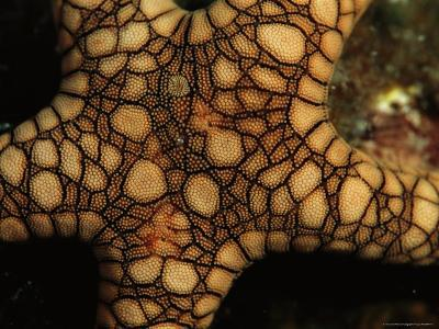 Close View of the Back of a Sea Star, Fromia Species