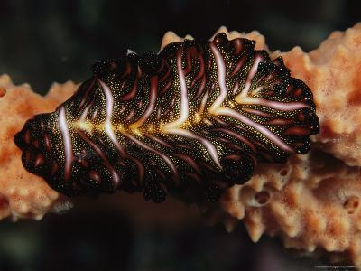 Pseudobiceros Bedfordi Marine Flatworm Crawling on a Sponge