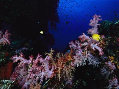Fijian Reef at 80 Feet with Soft Coral and Golden Damselfish