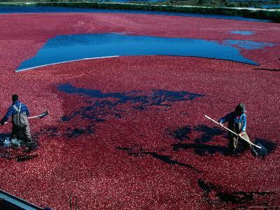 Workers Hard at it During the Cranberry Harvest of Cape Cod