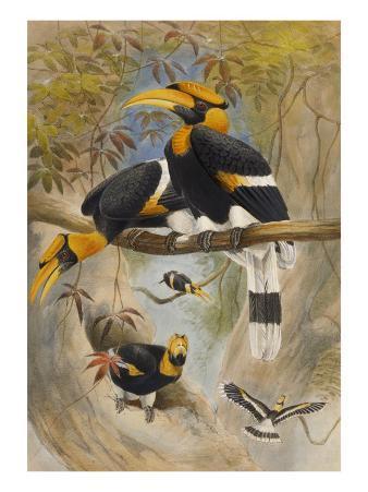 The Rhinoceros Hornbill, Buceros Rhinoceros, Zoological Sketches, 1856