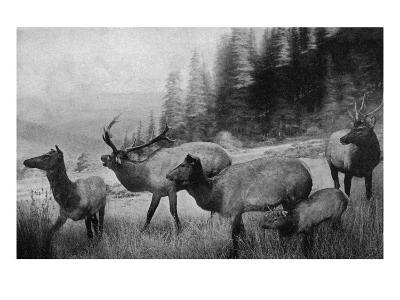 View of a Small Herd of Roosevelt Elk