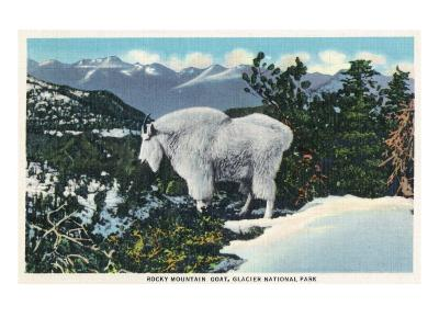 Glacier National Park, Montana, View of a Rocky Mountain Goat