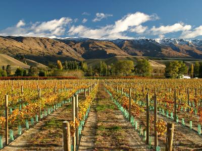 Vineyard and Pisa Range, Cromwell, Central Otago, South Island, New Zealand