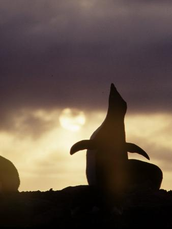 Silhouette of a Penguin Against a Low Sun in Antarctica