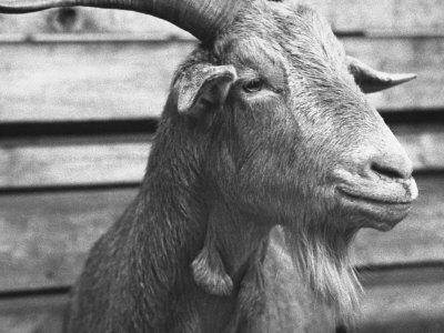 """Portrait of """"Red"""", a Judas Goat Who Leads Sheep into the Slaughter House"""