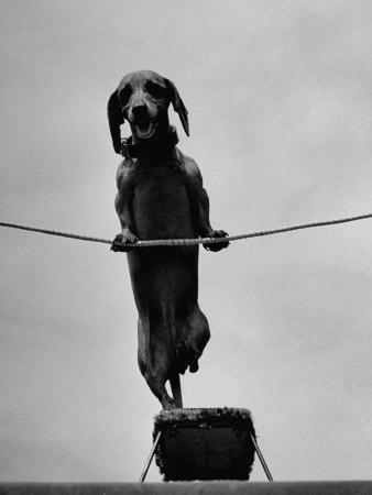 Dachshund in Training