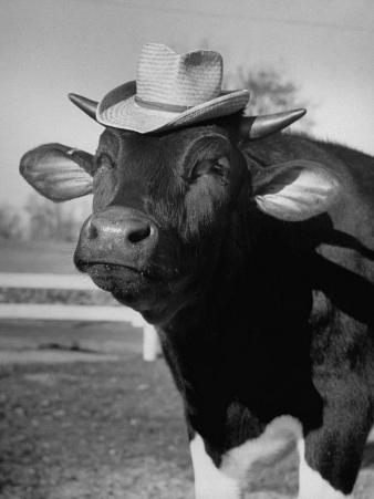 Trained Cow Wearing a Hat