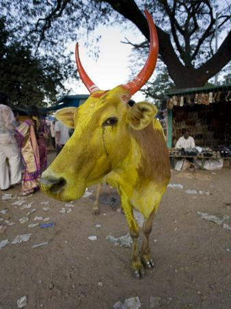 Painted Cow, Mysore, Karnataka, India