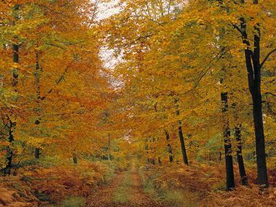 Beech Trees in Autumn, Surrey, England