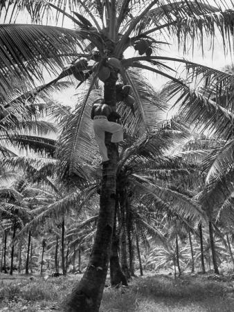 Native Preparing to Harvest the Coconuts