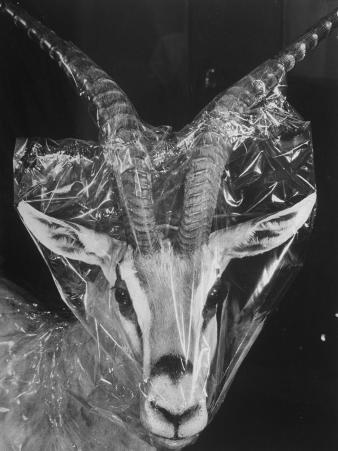 Robertsi Gazelle from Kenya Serengeti in Storage, American Museum of Natural History