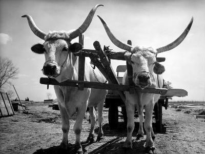 White Long-Horned Steers Teamed Up Like Oxen to Pull a Hay Wagon on the Anyala Farm