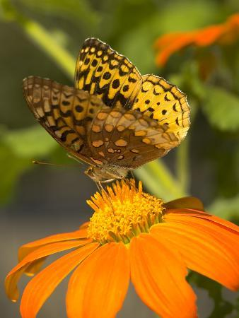 Skipper Butterfly Sipping Nectar from an Orange Flower, USA