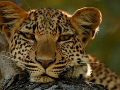 Portrait of a Leopard, Panthera Pardus, Resting, Mombo, Okavango Delta, Botswana