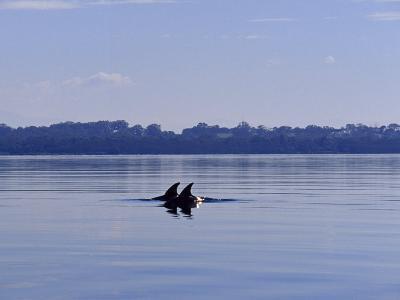 Bottlenose Dolphin, Tursiops Truncatus in Still Lake Wellington