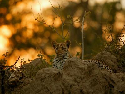 Leopard Rests in the Safety of a Rock Outcrop as Evening Descends, Mombo, Okavango Delta, Botswana